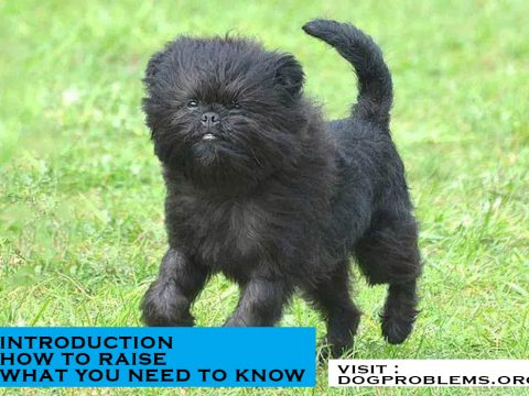 breed type affenpinscher