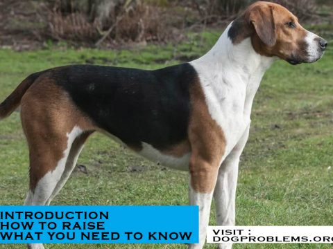 breed type american foxhound