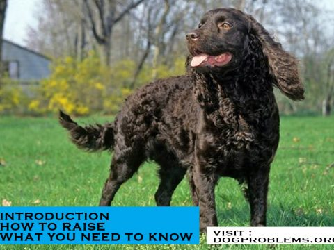 breed type american water spaniel