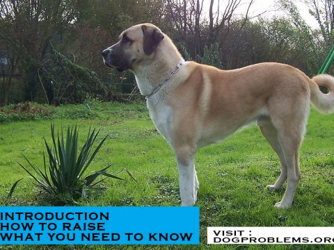 breed type anatolian shepherd