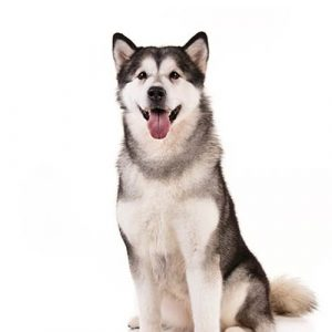 what-living-with-alaskan-malamute-is-like